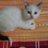 Сиамский котенок. Фото 1. Ногинск.