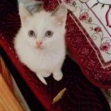 Сиамский котенок. Фото 2. Ногинск.
