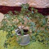 Аихризон (дерево счастья). Фото 1. Астрахань.
