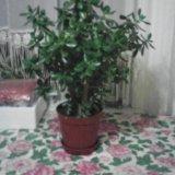 Комнатное растение денежное дерево. высота 70 см. Фото 1. Усть-Лабинск.