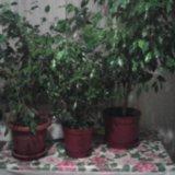 Комнатное растение денежное дерево. высота 70 см. Фото 2. Усть-Лабинск.