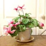 "Комнатное растение ""цикламен"". Фото 2."