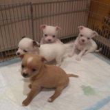 Продам щенков чихуахуа. Фото 4.
