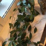 Хойя взрослое растение. Фото 1.