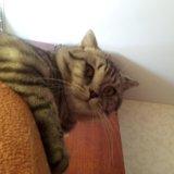 Британский кот. Фото 2.