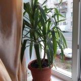 Комнатное растение. Фото 1. Саратов.