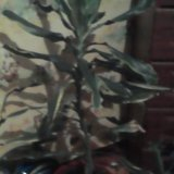 Цветы юка . пишите. Фото 1.