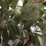Бансай маслина. Фото 2.