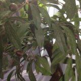 Бансай маслина. Фото 4.