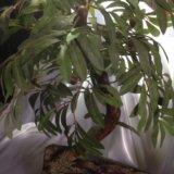 Бансай маслина. Фото 1.