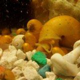 Улитки аквариумные ампулярии. Фото 2.