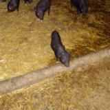 Вьетнамские свиньи. Фото 1.