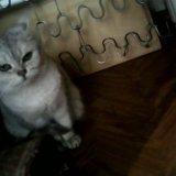 Срочно!!! отдам кошку британскую. Фото 1.