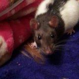 Крыса и морская свинка. Фото 1.
