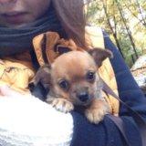 Чихуахуа -мини , щенки. Фото 4.