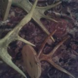 З штуки оленьих рогов. Фото 2.
