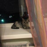 Продаётся британский котёнок. Фото 3.