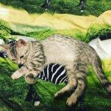 Продаётся британский котёнок. Фото 2.