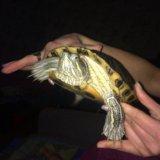 Черепаха. Фото 1.