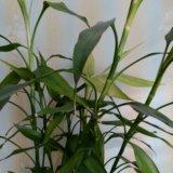Бамбук. Фото 1.