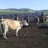 Продам коров. Фото 3. Абакан.