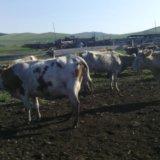 Продам коров. Фото 4. Абакан.