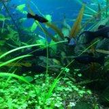 Моллинезии креветки улитки растения в аквариум. Фото 1. Видное.