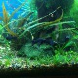 Моллинезии креветки улитки растения в аквариум. Фото 3. Видное.