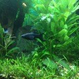 Моллинезии креветки улитки растения в аквариум. Фото 4. Видное.