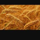 Пшеница. Фото 1. Кавказская.