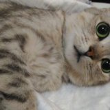 Шикарная кошка в дар. Фото 2.