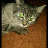 Отдам сибирскую кошку. Фото 1.