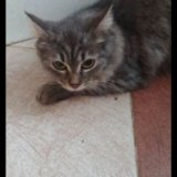 Отдам сибирскую кошку. Фото 2.