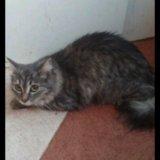 Отдам сибирскую кошку. Фото 3.