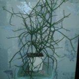 Рипсалис африканский. Фото 1.