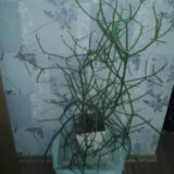 Рипсалис африканский. Фото 2.