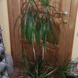 Драцена пальма. Фото 1. Магнитогорск.