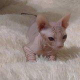 Продаю сфинкса,  котика,  три месяца. Фото 3.