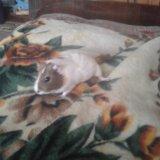 Морская свинка. Фото 4.