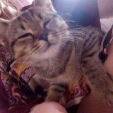 Отдам британского котенка. Фото 1.