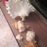 Ракушки с черного моря. Фото 4.