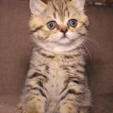 Кошечка скоттиш-страйт. Фото 1. Арзамас.