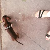 Такса кроличья-мини. Фото 2.