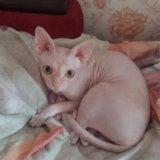 Котята канадского сфинкса. Фото 3. Мытищи.