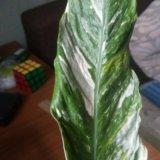 Спатифиллум домино. Фото 2.
