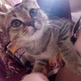 Отдам британского котенка. Фото 4.