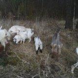Козы дойные 5 штук и козел. Фото 4.