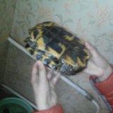 Черепаха водная. Фото 1.