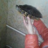 Черепаха водная. Фото 2.