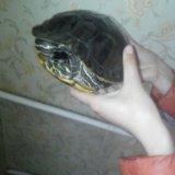 Черепаха водная. Фото 4.